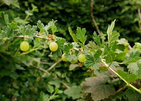 Gooseberries growing