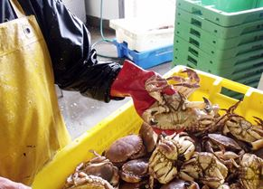 The crabs arrive at Whitby Crab Company